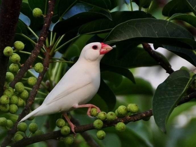白文鸟选购的时候有什么需要注意的?